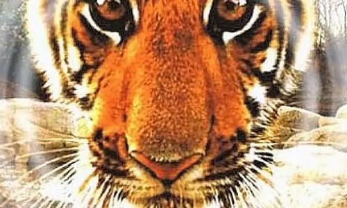 纪录片《虎:丛林中窥探》全三集高清视频英语中文字合集[MKV/5.47GB]百度云网盘下载  纪录片 第1张